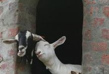 Animals ~ Kids, as in Goats...Also, Lhamas, Lambs & Sheep / by JSP