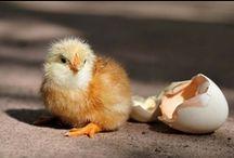 Cluck / Chicken stuff