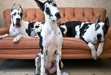 Great Danes are like potato chips / For love of the Gentle Giant.