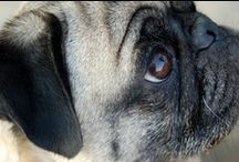 Pugs! / I love pugs. Their smushed face is so adorable! / by Ann Blumer-LaMotte