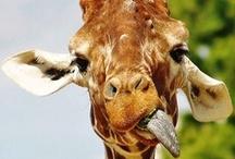 buy me a giraffe N O W