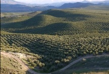 Olive Oil Country / The beautiful countryside of olive oil producing regions.