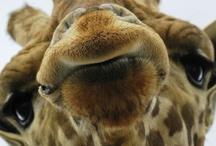 Giraffes / by Ginger Whitley