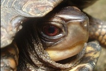 We do best to be like the humble trutle-- / at ease in our own shell. / by Charlene L