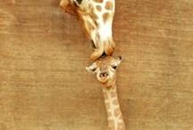 Giraffe - Twiga Love