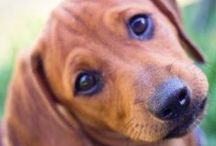 Too Cute / Adorable animals with an emphasis on dachshunds. :)