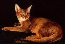 Abysinnian Cats