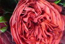 Roses Encyclopedia
