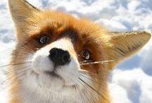 Foxes! / by Teegan Purrington