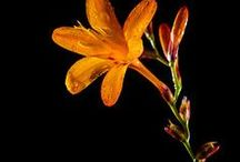 Crocosmia Wedding Flowers / Unique orange flowers for use in bridal bouquets, corsages, boutonnieres, centerpieces and more!  Check out free wedding flower tutorials.