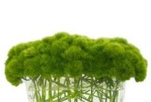 Dianthus (Green Trick)  Wedding Flowers / Features beautiful green trick - dianthus - which is a member of the carnation family.  See ideas for centerpieces, bridal bouquets, boutonnieres and more.