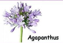 """Agapanthus Wedding Flowers / Wholesale Wedding Flowers - compare and shop before buying your flowers online.  Sometimes """"wholesale"""" isn't really saving you money.  Learn how to make bridal bouquets, wrist corsages, groom boutonnieres, reception table centerpieces and church flower decorations.  Buy wholesale fresh flowers and discount florist supplies."""