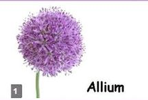 Allium Wedding Flowers / Flower Designs and inspiration for your wedding flowers.  Allium is a lovely (but very seasonal) ball shaped flower that is available in lavender/purple.  Learn how to make bridal bouquets, wrist corsages, groom boutonnieres, reception table centerpieces and church flower decorations.  Buy wholesale fresh flowers and discount florist supplies.