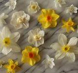 spring / FLORA floral botanical atelier / Február közepétől május végéig tartó időszak. Állandó mozgás, lendület, változás jellemzi. Rengeteg izgalmas szezonális virágot kínál, illatozó, hagymás növények sorát. Hersenő tulipánt, garmadával nárciszt, jácintot, kedves fürtös györgyikét, hunyort. Különféle rügyező, virágzó ágakat - barack, cseresznye. A legszebbek ilyenkor a boglárkák, anemónák. Május beköszönte pedig további csak ekkor élvezhető kedvenceket ébreszt. Az orgonát, labdarózsát, gyöngyvirágot, pünkösdi rózsát.