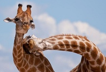 Giraffes / Giraffes have slowly become my favorite animal over the years.  / by Manic Trout