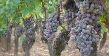 Harvest at Château Coutet /  #Barsac #Sauternes #Wine # Vin