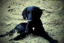Flatcoated Retrievers / greatest dogs in the world!