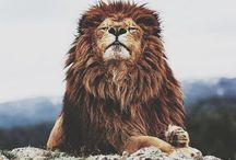 L I O N S / ^^lions
