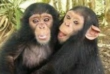 CHIMPS GORILLAS & BAMBOONS / by Laura Hunt