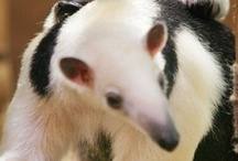 ANTEATERS / by Laura Hunt