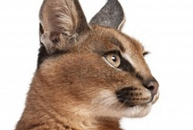 CARACAL / by Laura Hunt