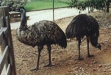 EMUS / by Laura Hunt