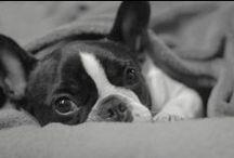 Jhonny Cash the dog / Frenchie bulldog