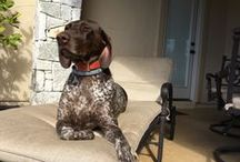 German shorthairs: simply the BEST! / In my humble opinion, the best breed.  Sweet, athletic, strong, loyal, smart: a great family dog. / by Suzanne