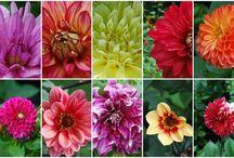 My Dahlias / Dahlias grown in my backyard flower farm near Cape Cod. www.deborahjeansdandelionhouse.blogspot.com