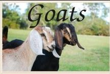 goat care / by Stella Denother