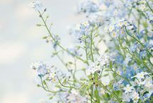 Flowers | Forget-Me-Nots / Photos of forget-me-not flowers