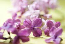 Flowers | Lilacs / Photos of lilacs