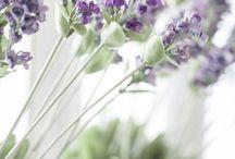 Flowers | Lavender / Photos of lavender