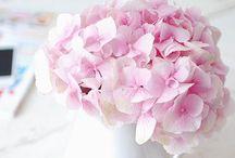 Flowers | Hydrangea / Photos of hydrangea flowers