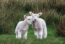 Cute | Lamb / Cute lamb photos