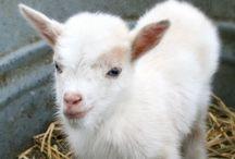 Cute | Goat / Cute photos of goats