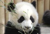 Panda / by Friedel Jonker