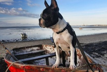 How can you not LOVE a Boston Terrier?!? / by CJ Casey