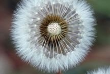 Dandelions / by Kayla Arlington👑