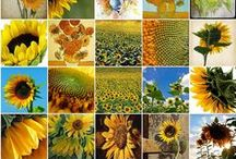 Sunflowers / My favorite, the happiest of flowers~ / by Karen Benfield