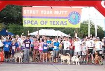 Strut Your Mutt / This is the largest dog-friendly 3K/5K in North Texas! Walk or run to help us raise $250,000 to support the SPCA of Texas' life-saving rescue & shelter programs!  Join a team or sign up team: www.strutyourmutt.info