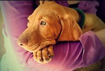 Vizsla dogs / Pictures of Vizsla's, a wonderful Hungarian dog breed. Vizsla's are both excellent hunting dogs and loyal and affectionate companions.