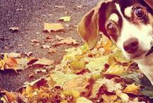 Dogs Playing in Leaves / Happy Fall! Here are some adorable photos from around the Internet of dogs playing in piles of leaves! Enjoy!