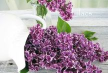 Lilacs / With their lush blooms and deeply floral fragrance, lilacs are one of my favorites and they grow beautifully in our garden