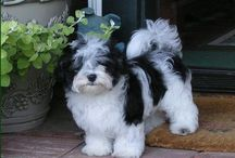 Another fave breed / Havenese