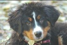 WOOF! CRAZY FOR BERNERS / CRAZY FOR BERNERS & RESCUES! / by Not a Trophy Wife