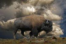 Where The Buffalo Roam / Oh, Give Me a Home....