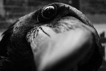 Corvids / Who's Cawsome? YOU are!  / by Danielle Ruegg