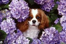 Cavalier King Charles Spaniel - a breed I drool over / by Melissa Johnson