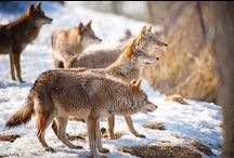 Canidae / Dogs, Wolves, Jackals, Foxes, and Coyotes.
